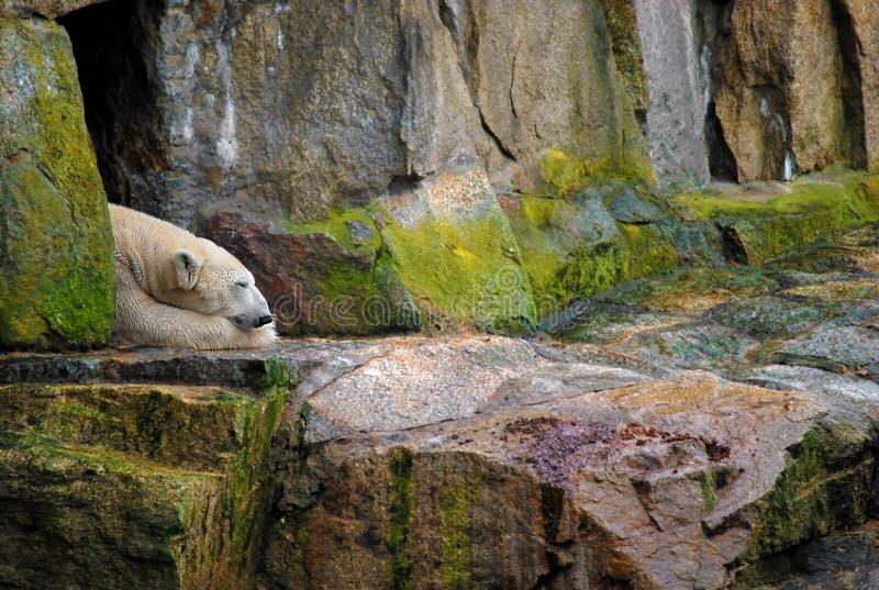 Sommeil d'ours blanc photographie stock libre de droits