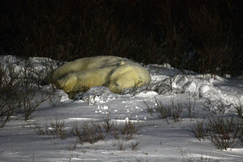 Sommeil d'ours blanc photo libre de droits