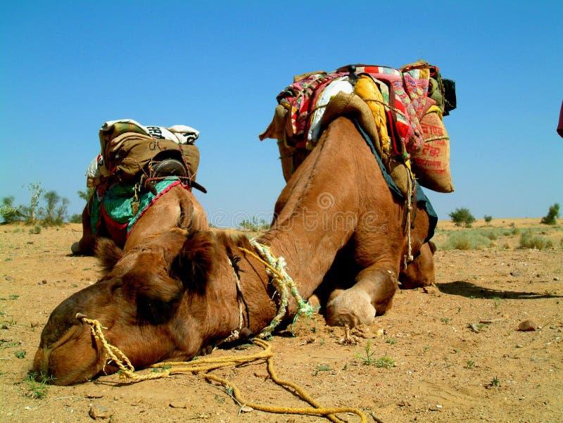 Sommeil de chameau photos libres de droits
