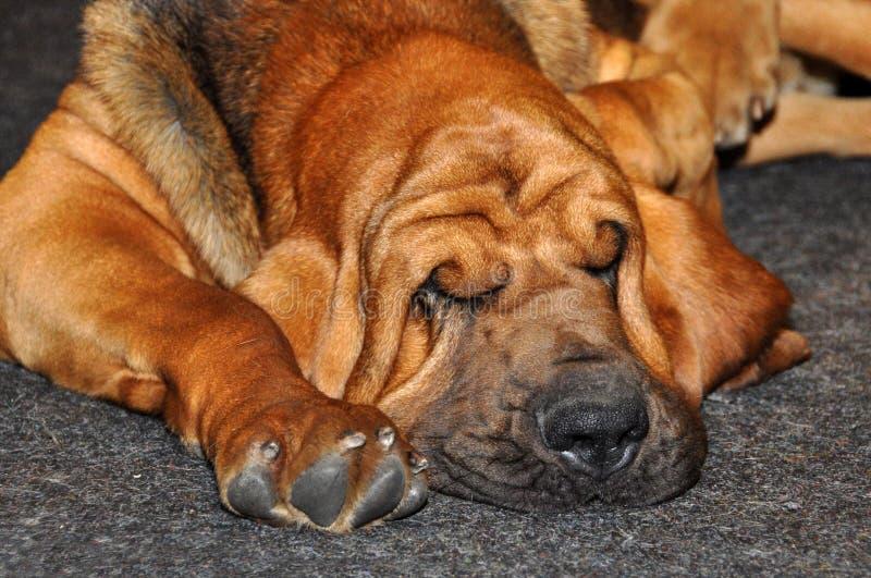 Sommeil de chien de limier image libre de droits