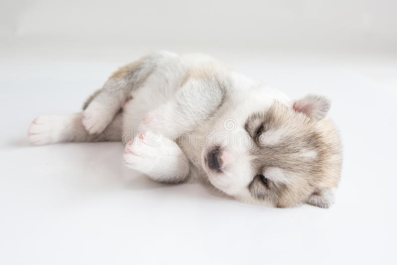 Sommeil de chien de traîneau sibérien de chiot photo libre de droits