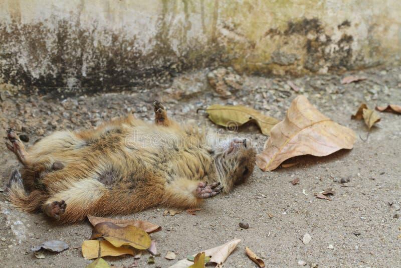 Sommeil de chien de prairie photographie stock libre de droits