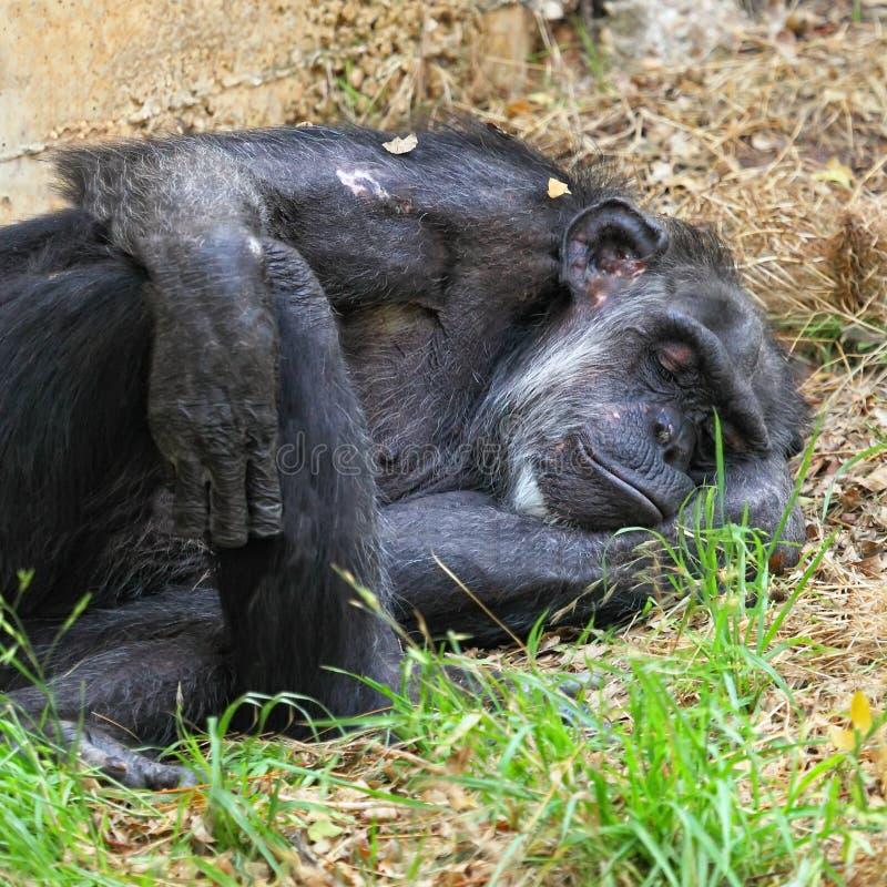 Sommeil de chimpanzé photographie stock