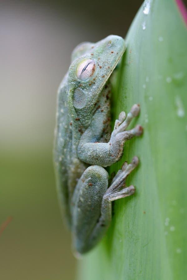 Sommeil de grenouille d'arbre photo libre de droits