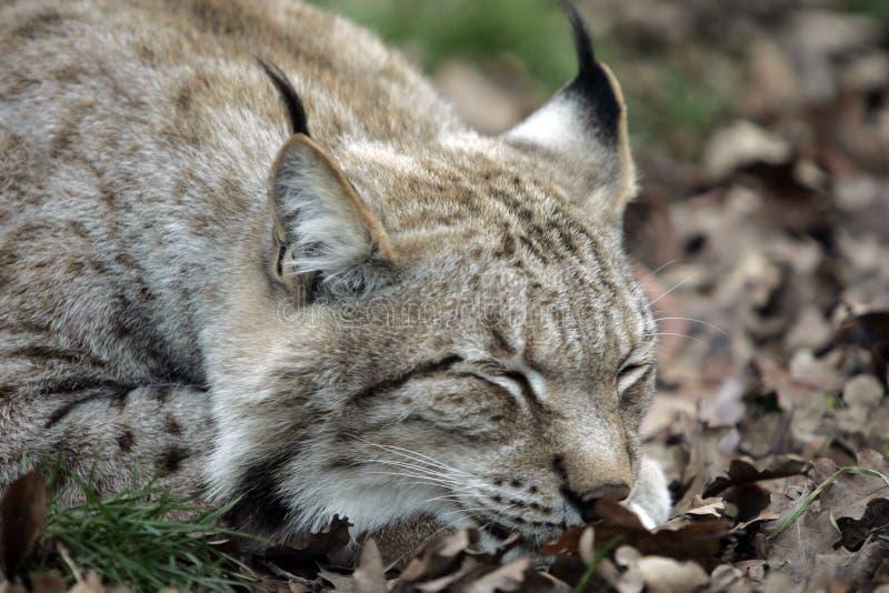 Sommeil de Lynx image stock