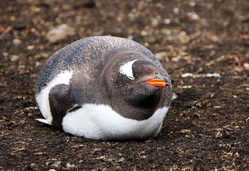Sommeil de pingouin de Gentoo Heureux, contesté, souriant, gros et rond images libres de droits