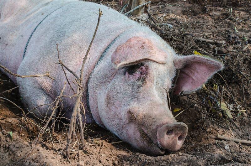 Sommeil de porc images libres de droits