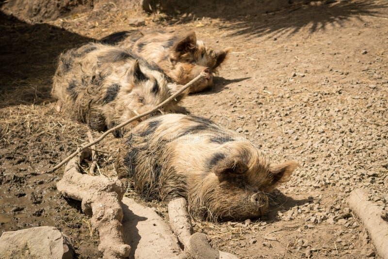 Sommeil de porcs de Kunekune Nouvelle-Zélande images stock