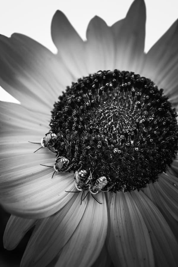 sommeil de quatre abeilles image libre de droits