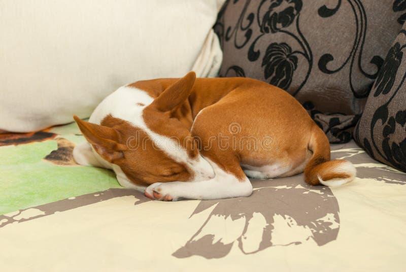 Sommeil doux de chiot de Basenji sur un sofa dans la pose préférée photographie stock libre de droits