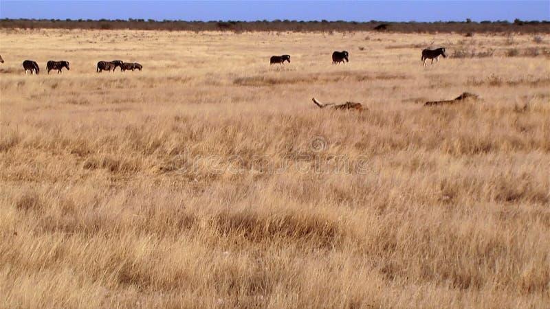 Sommeil et zèbres de lions marchant à l'arrière-plan banque de vidéos