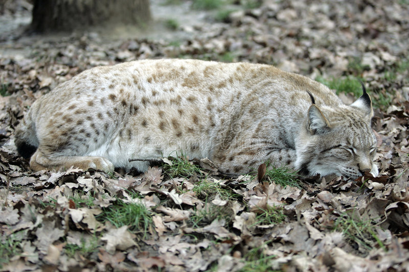 Sommeil Lynx images stock