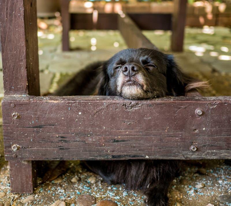 Sommeil mignon de chien noir sous la table en bois photos libres de droits