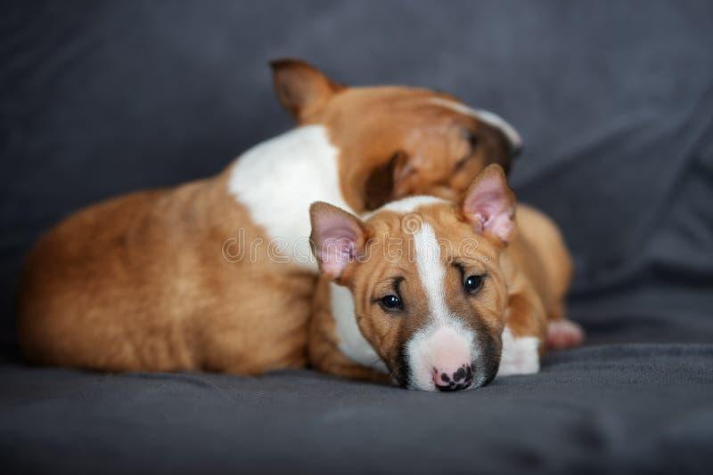 Sommeil miniature de deux chiots de bull-terrier image stock