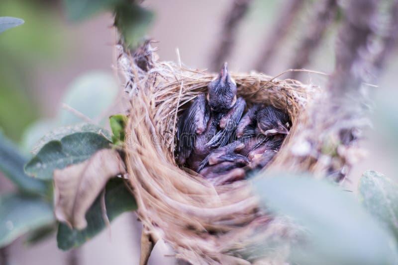 Sommeil nestStreak-à oreilles d'oiseaux de bébé de blanfordi de Pynonotus de Bulbul de bébé barbu rouge de bulbul image libre de droits