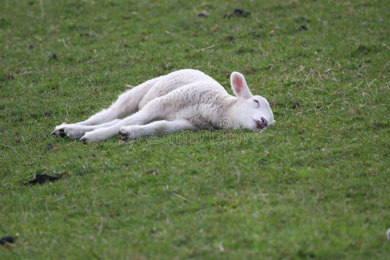 Sommeil paisible comme agneau nouveau-né images stock