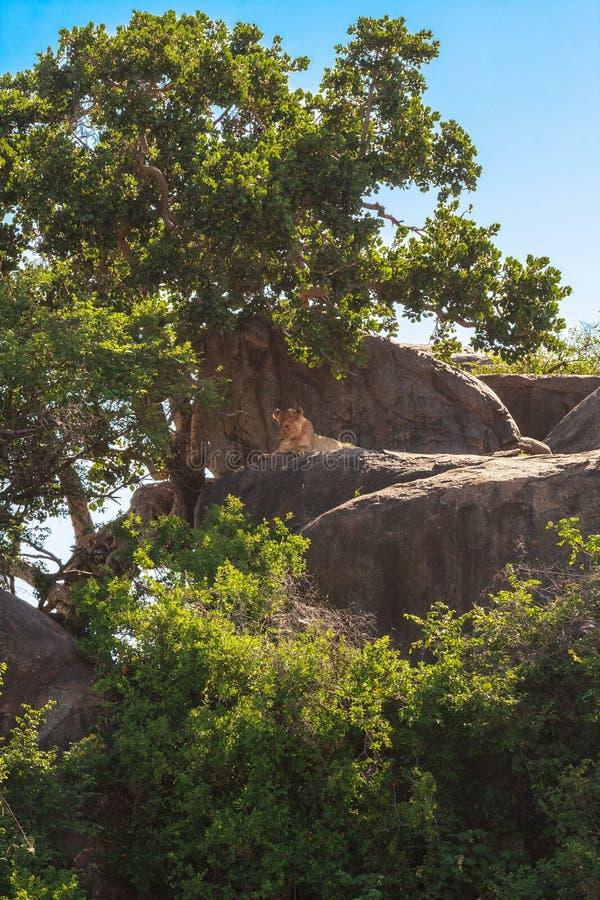 Sommeil prédateur paresseux sur une roche Lionne du Serengeti, Tanzanie photo libre de droits