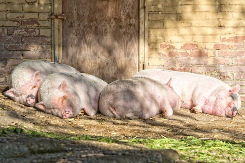 Sommeil rose de porc photos libres de droits