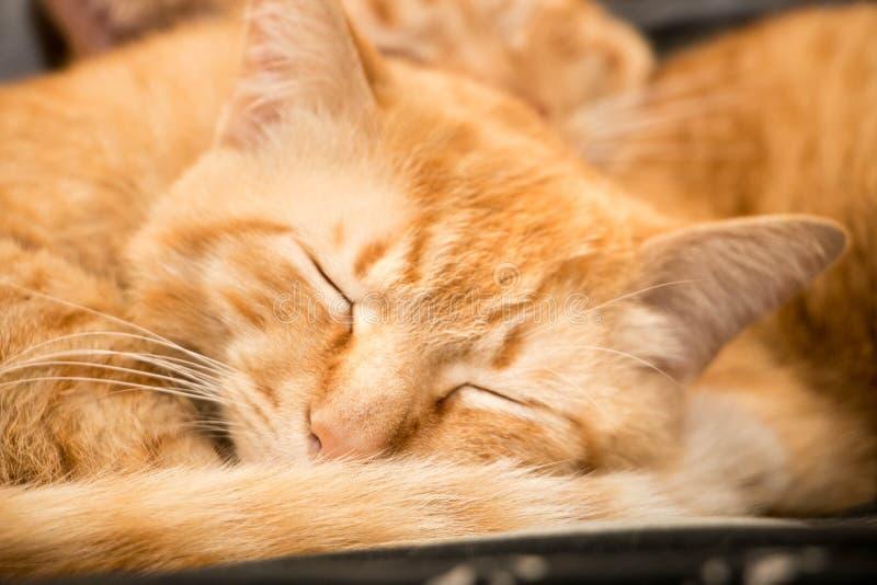 Sommeil rouge de chat image libre de droits