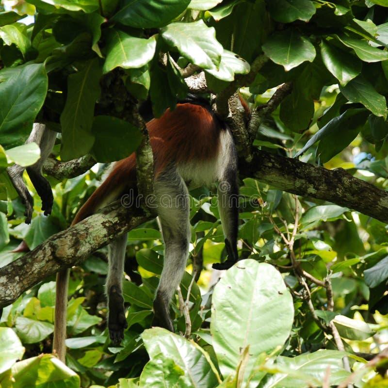 Sommeil rouge de singe image stock