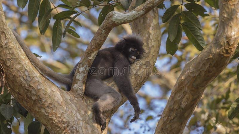 Sommeil sombre de singe de feuille photographie stock libre de droits