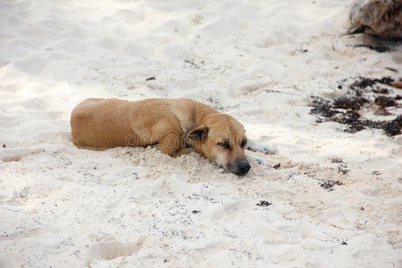 Sommeils de chien de Brown Shorthair sur le rivage sur le sable blanc Le concept du repos et d?tente images stock