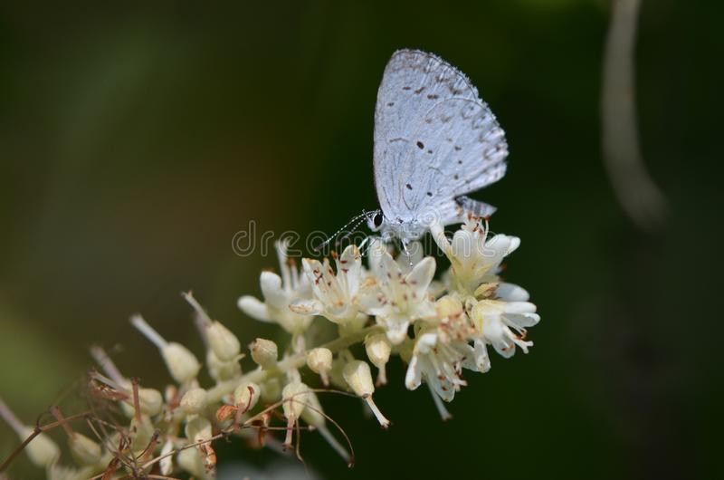 Sommer Azure Butterfly lizenzfreies stockbild