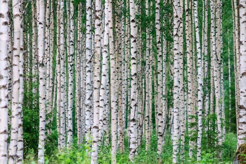 Sommer Birchwood stockfotos