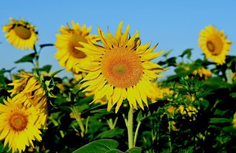Sommer Blühende Sonnenblume stockfotografie