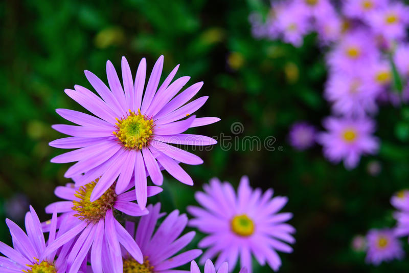 Sommer-Gartennatur der schönen purpurroten Chrysanthemenblumenblumenblätter bunte lizenzfreie stockfotos