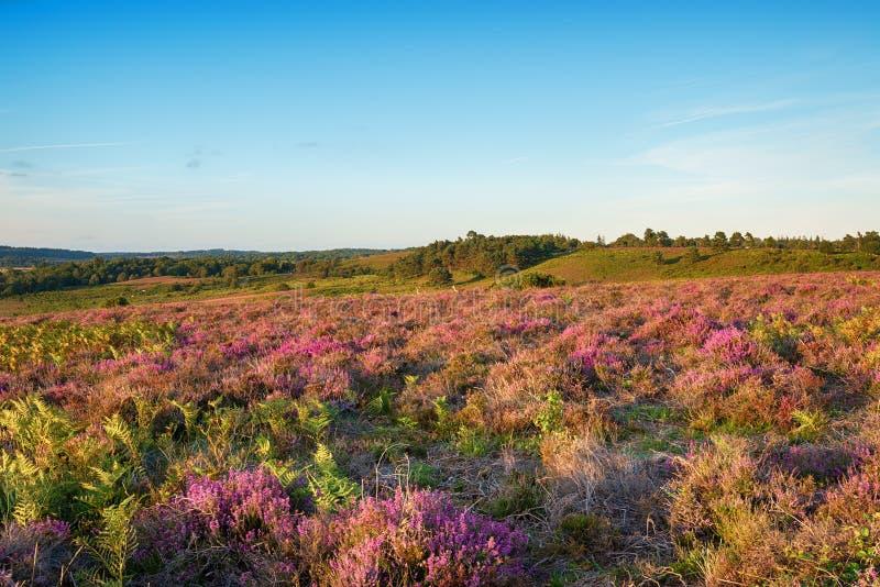 Sommer-Heide im neuen Wald lizenzfreie stockfotos