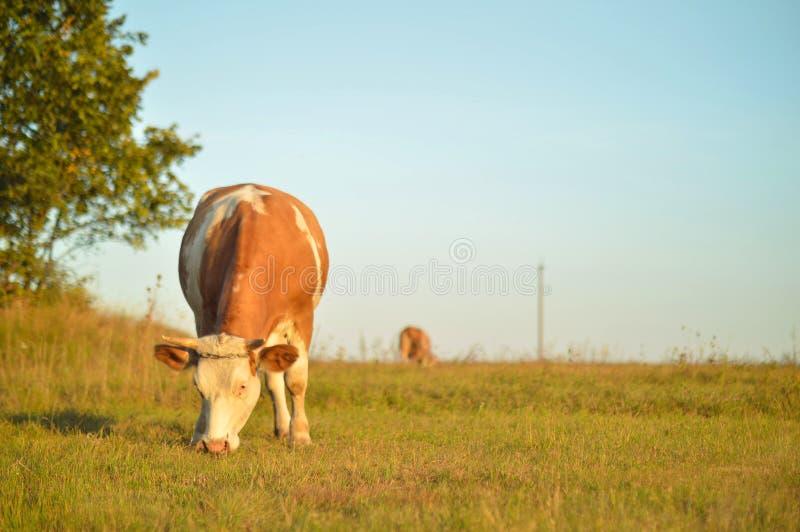 Sommer im Dorf Kühe in der Wiese lizenzfreie stockbilder