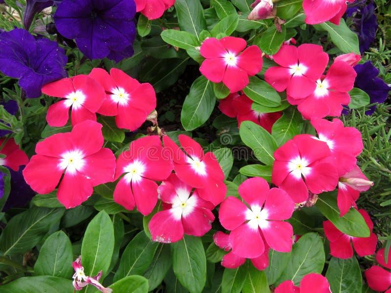 Sommer Impatiens und Petunien im Juli lizenzfreies stockbild