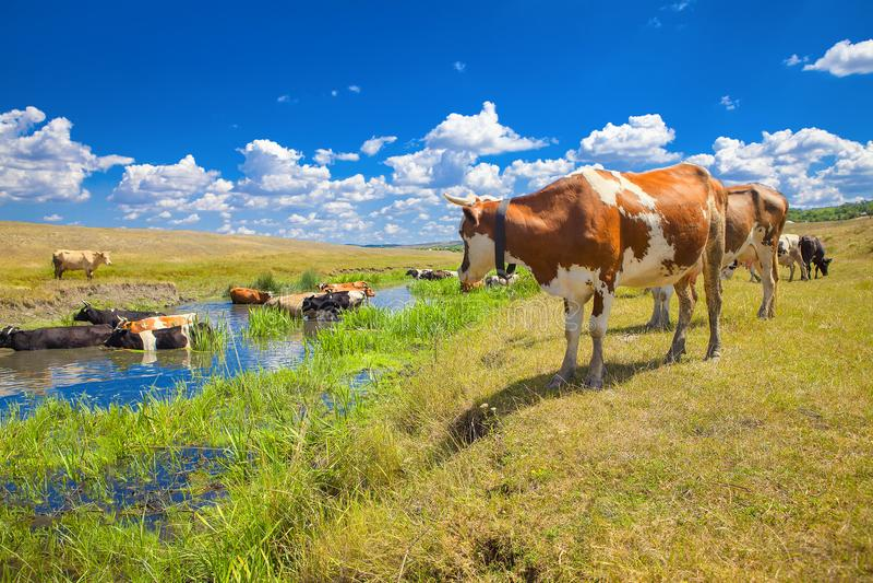 Sommer-Landschaft mit Kühen stockfotos