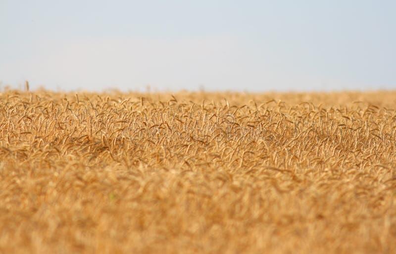 Sommer-Mais-Gerste stockbild