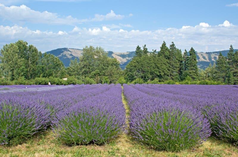 Sommer-Oregon-Lavendel-Felder stockfoto