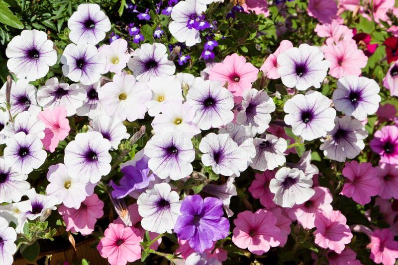Sommer-Petunie-Blumen lizenzfreie stockfotos