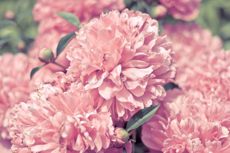 Sommer-Pfingstrosenblumen stockbilder