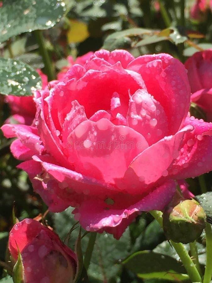 Sommer Rose lizenzfreie stockfotos