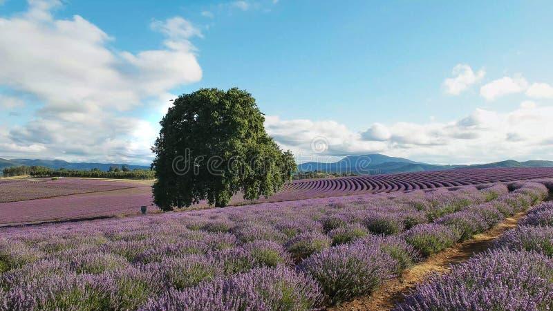 Sommer schoss von einem Feld von Lavendelblumen und von alten Eiche in Tasmanien stockfotos