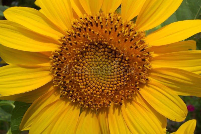Sommer-Sonnenblume Lizenzfreie Stockfotografie