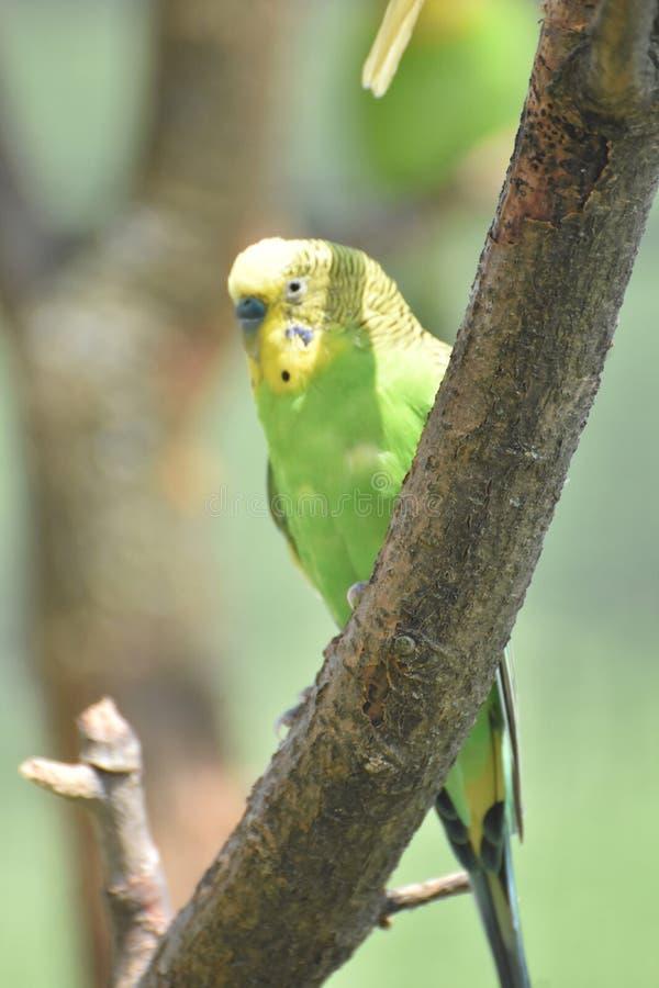 Sommer-Tag mit einem hellen Parrotlet in einem Baum lizenzfreies stockbild