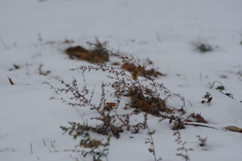 Sommer-Unkräuter, die durch Winter-Schnee stoßen lizenzfreies stockfoto