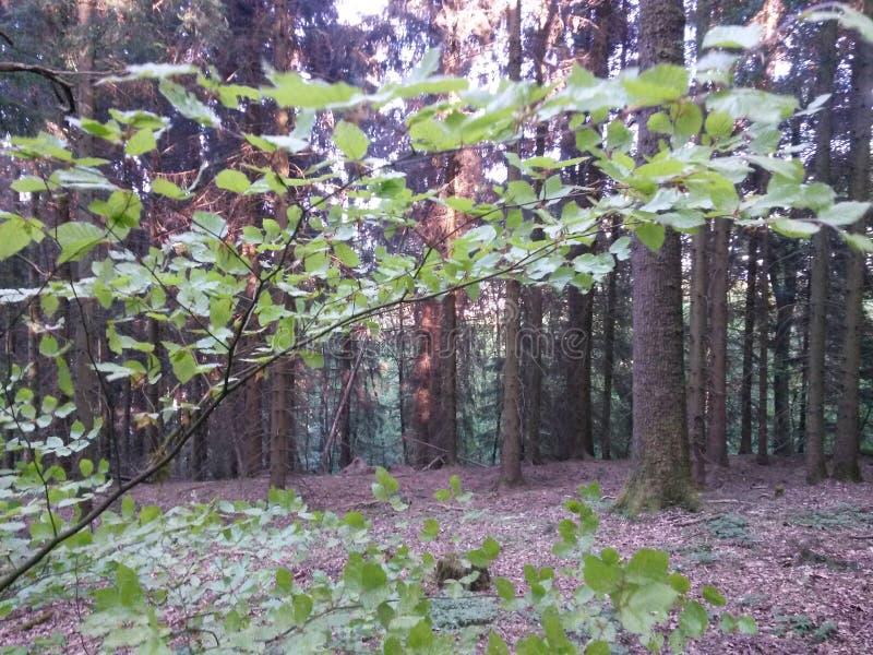 Sommer-Waldweg am Abend mit letztem Sonnenlicht lizenzfreie stockfotografie