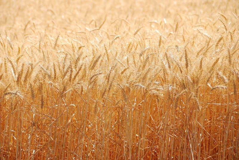 Sommer-Weizen lizenzfreie stockfotos