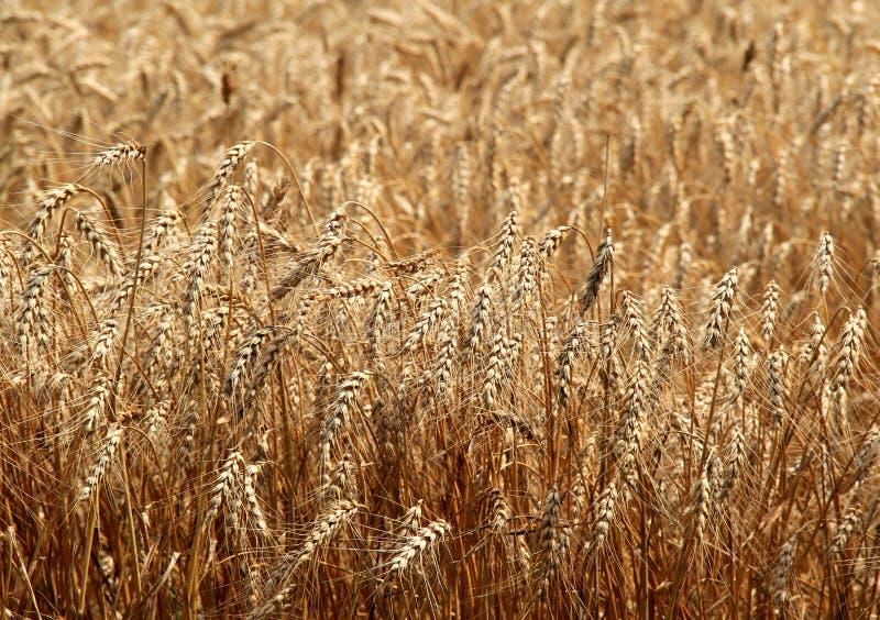 Sommer-Weizen stockfotos