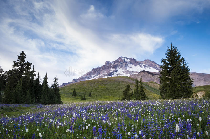 Sommer Wildflowers auf Mt.-Haube, Oregon stockfotografie