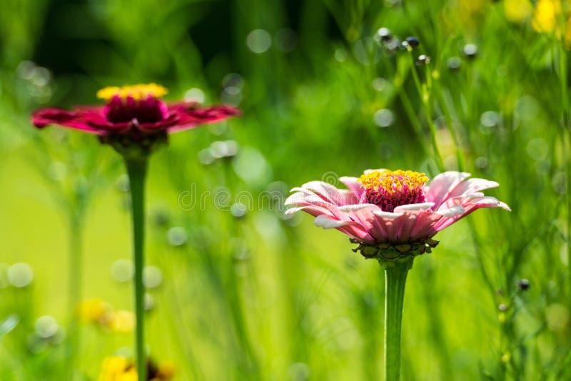 Sommer Zinnia Elegans-Blumen stockbilder