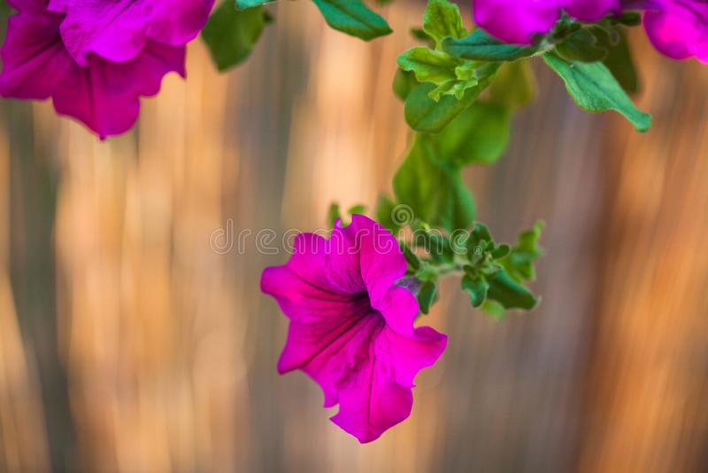 Sommerbalkon, der purpurrote Petunienblumen h?ngt lizenzfreies stockbild