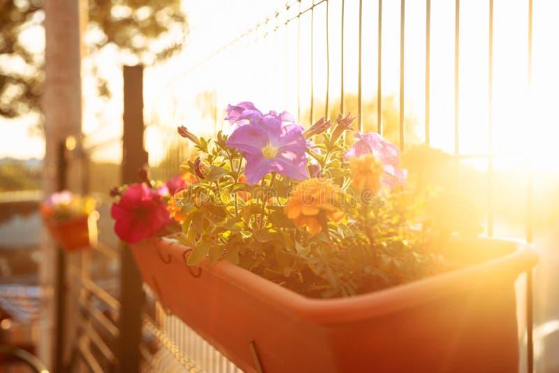 Sommerbalkongarten an der Sonnenuntergangbeleuchtung: schöne bunte Petunienblumen stockfotografie